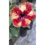 Hibiscos Hawaianos