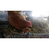 Huevo De Gallo-gallina Solo Venta Monterrey