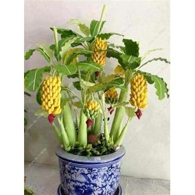 30 Sementes Do Verdadeiro Bonsai De Mini Bananeiras Anãs