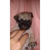 Pug Carlinos Somo Criadero Venta De Perros