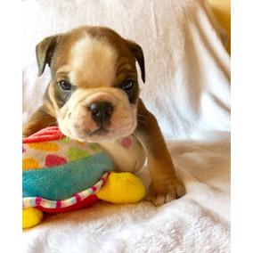 Cachorritos Bulldog Ingles Pedigree + 1 Mes De Vet