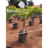 Palmeira Garrafa - Hyophorbe Lagenicaulis - 1,30 - 1,70 Mts