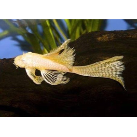 Pleco Ancistrus Albino De Velo, Plecostomus Herbívoro