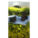Promocion Yorkie Hembra Yorky Miniatura Cachorros Cachorras