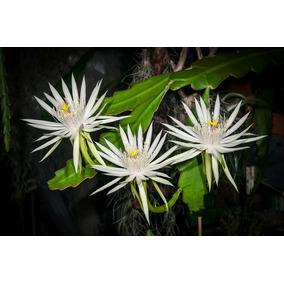 Flor Reina De Noche - Epiphyllum Hookeri Cactus Orquidia