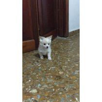 Chihuahua Machito Pelo Largo Blanco Excelente Mini
