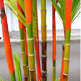 Semillas 100 Pcs Bambu De Colores O Guadua