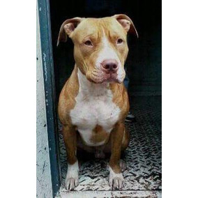 Pitbull Red Nose Para Servicio De Monta.