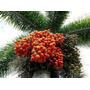Palmeira Rabo De Raposa - Wodyetia Bifurcata 10 Sementes