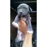 Pitbull Blue
