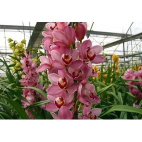 Muda De Orquídea Cymbidium Rosa - 10 A 15cm - Promoção!