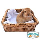 Auténticos Holland Lop Conejos Enanos Mini 100% Raza Puros