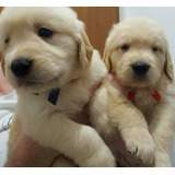 Golden Retriever Cachorros Raza Pura