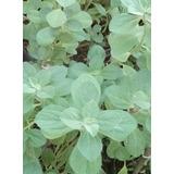 Planta Buscapina. Vida Natural. Tisanas