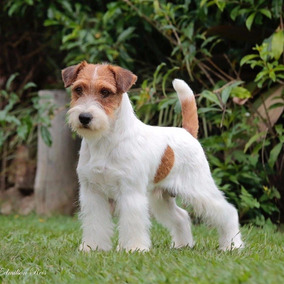 Filhotes De Jack Russell Terrier