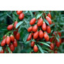 Goji Berry Certificada Para Produção De Mudas 100 Sementes