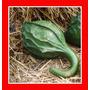 Cabaça Dinossauro Maranka Gourd Porongo Sementes Para Mudas