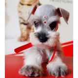 Cachorros Schnauzer Miniatura Padres De Pedigree 22cm