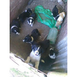 Cachorros Border Collie Puros