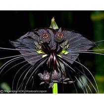 10 Sementes Orquidea Flor Morcego Negra Tacca Chantrieri