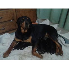 Ultima Cachorra Rottweiler (americana) Camada 02 De Agosto