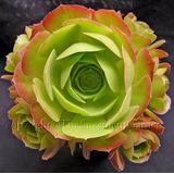 5 Suculentas Aeonium Aureum Canariense-sementes Raras