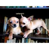 Chihuahua Mini Hembra Un Año Y 4meses