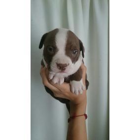 Cachorra Pitbull 1mes