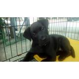 Hermosa Cachorra Labrador Retriver Negra