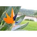 Strelitzia -flor De Pájaro- Pilar, Escobar, Tigre, Z. Norte
