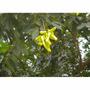 Muda De Ingá Laurina - Ingá Banana ( S W. Willd ) 8 A 20cm