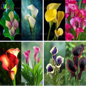 50 Sementes De Copo De Leite Sortidos 8 Cores - Flores