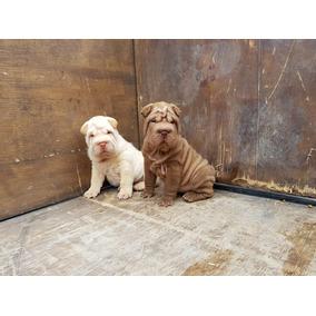 Cachorros Shar Pei Machos Con Fca