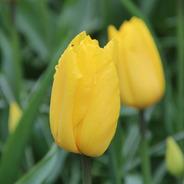 Bulbos De Tulipanes Preplantados Imp. Holanda X 5 Bulbos