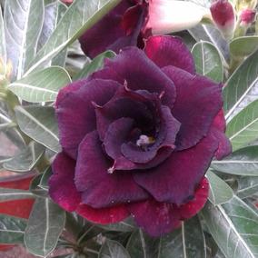 Rosa Del Desierto Black Steel ( 1 Planta)