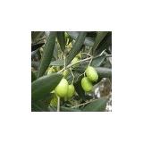 Mudas De Oliveira/azeitona (olea Europaea L.