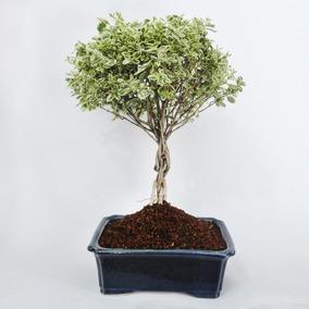 Ficus benjamina en mercado libre m xico - Ficus benjamina precio ...