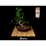 Bonsai Natural, Ficus Tiger Bark