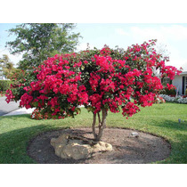 10 Sementes Bougainvillea Flor Em Bonsai Gramas Buganvília