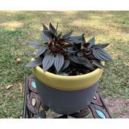 Planta. Peperomia Velita, En Matera Personalizada