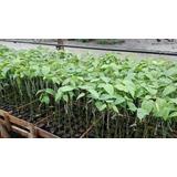 Plantones De Granadilla Injertado Con Mayacuya