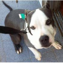 Vendo Cachorro American Pit Bull Terrier