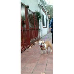 Bulldog Ingles En Servicio De Stud Con Microchip Y F.c.a.