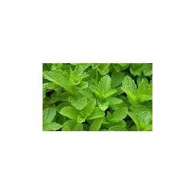 Menta ( Planta ) , Sombra - Semisombra 15 A 25 Cm