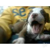 Cachorro Pitbull De 3 Meces