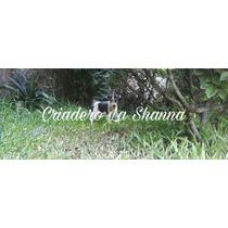 Fox Terrier Criadero La Shanna