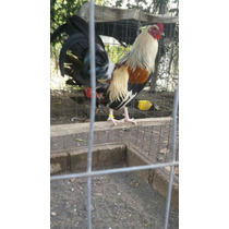 Pollos De 7 Meses Líneas Jiros & Kelson Ylh Padres A La Vist