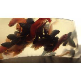 Pacote Com 20 Peixes Beta Fêmea Simples