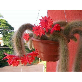 1 Muda Rabo De Macaco