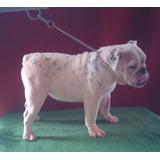 Bulldog Ingles Hermosa Hembra 7 Meses Con Pedigree
